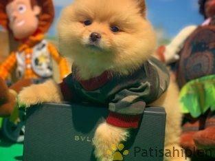 Safkan Büyümeyen Cins Pomeranian Boo Teddybear