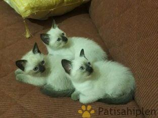 Safkan Siyam Kedi Yavruları