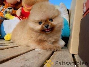 Sağlık ve ırk garantili gülen surat Pomeranian Boo