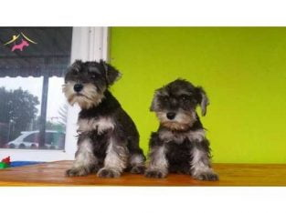 SALT AND PEPPER MİNYATÜR SCHNAUZER YAVRULAR #45847