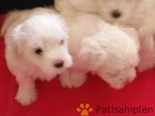 Satılık Maltese Terrier yavrulari