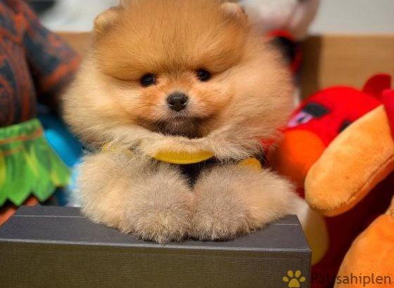Siz de Boo Teddybear Yavrusuna Sahip Olmak İstiyorsanız İletişime Geçiniz