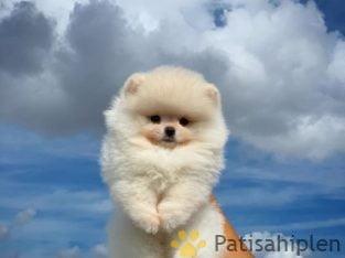 Teddy bear kaliteli tüy yapısına sahip olan pomeranian yavrumuz