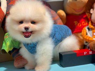 Teddybear minyatur boy pomeranın boo yavrularımız