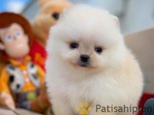 Teddyface surat harika tüy yapısı Pomeranian