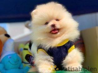 Türkiye'nin Tek Güvenilir Pomeranian Boo Ailesi Daha Fazlası İçin İletişime Geçin