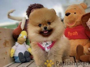 Yeni gelen Pomeranian kızımız miya