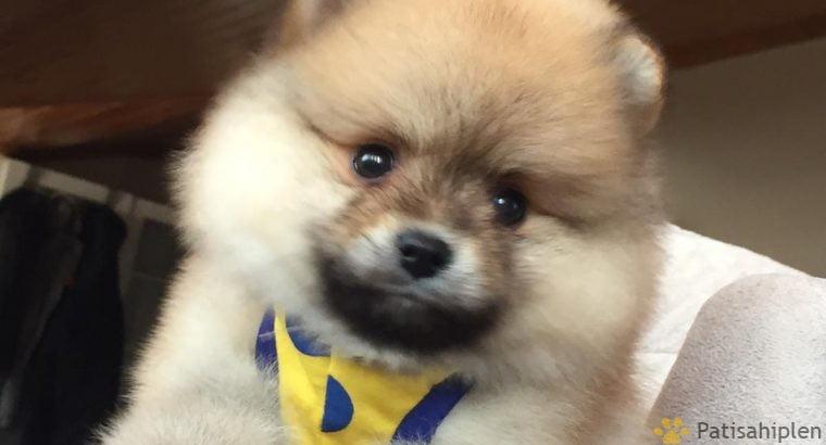 Pomeranian Boo Teddy Bear Yavrular