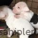 Satışık dişi, erkek pitbull yavruları