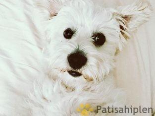 1.5 yaşında maltese terrier