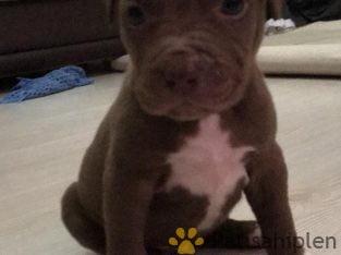 American Pitbull Terrier yavruları