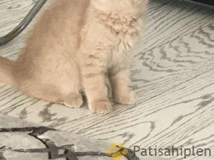 Tam bir ev kedi