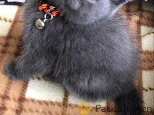 British ve siyam yavrular