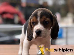 Baby face beagle yavrular