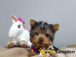 Irk ve saglık garantili 0 numara yorkshire terrier