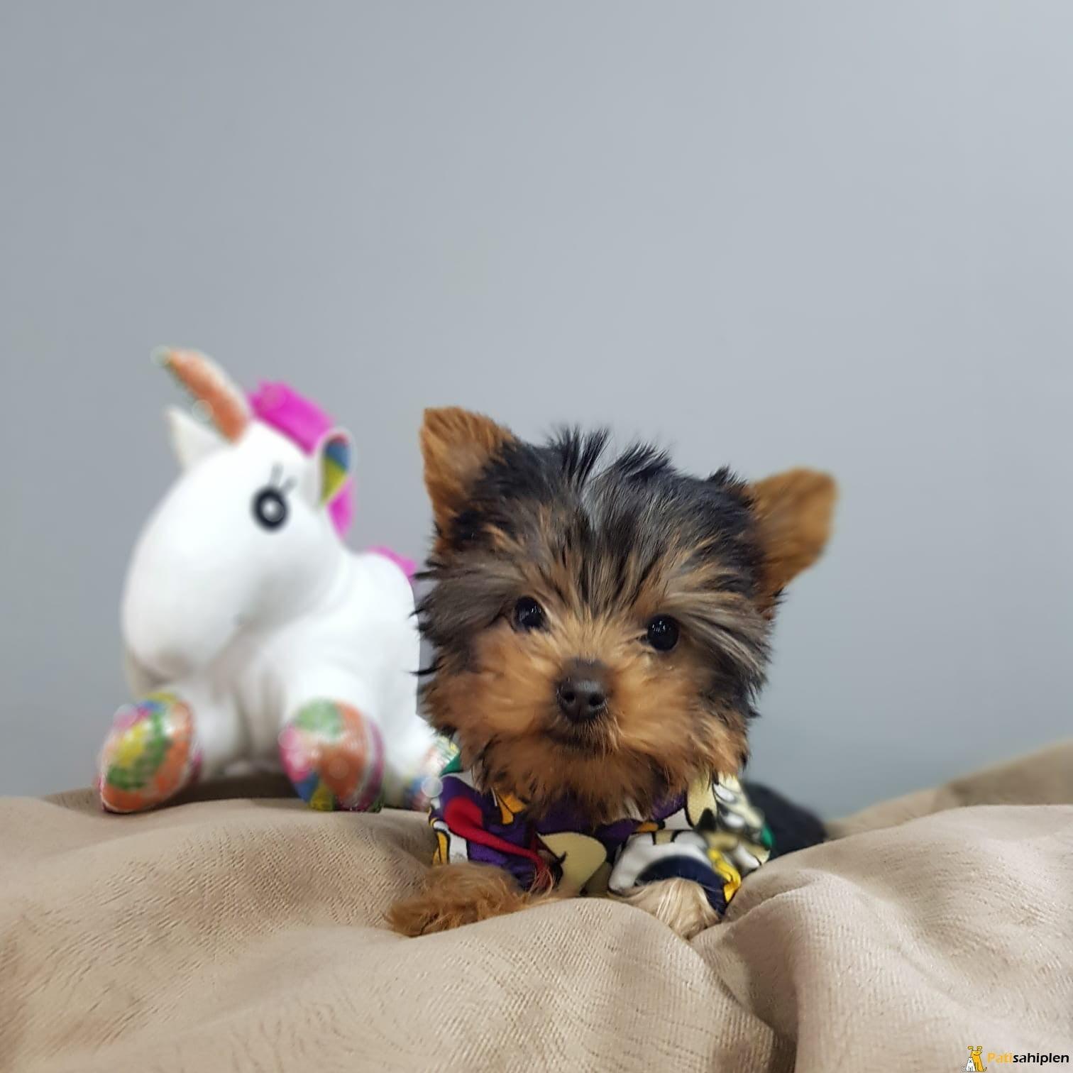 Irk ve saglık garantili 0 numara yorkshire terrier - Evcil ...