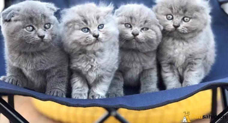 Muhteşem Güzellikte Scottish Fold yavruları