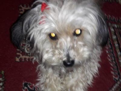 Terrier maltız köpeğim