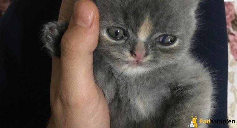 British shortheır kedilerimiz 1 kız 1 erkek