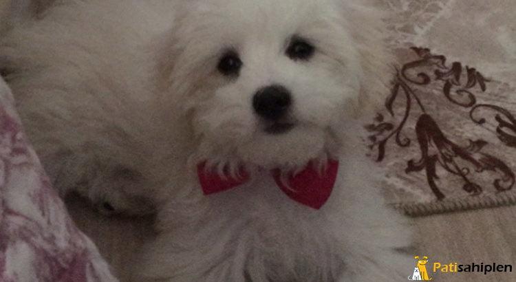 İzmir Maltese terrier yavru