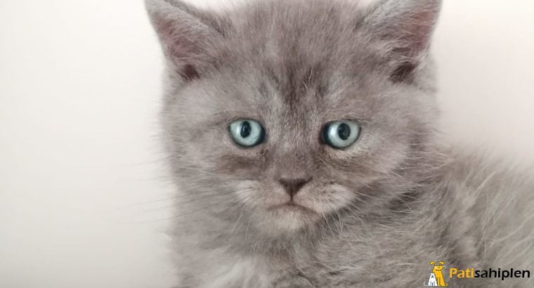 2 aylık british shorthair erkek kedicik