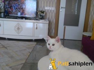 British shorthair 3 aylik