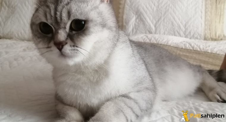 Silver british shorthair