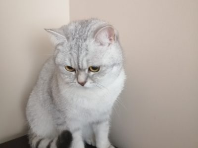 Silver british shorthair