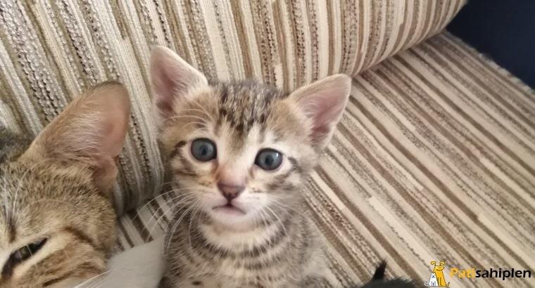 bir aylık olan 3 bebek kedi
