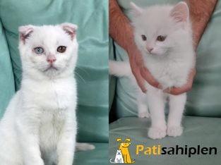 British ve Scottish yavruları ( Ev kedileri )