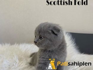 Irk ve Sağlık Garantili Scottish Fold Yavru
