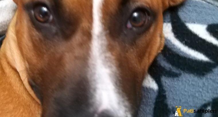 Amerikan Staffordshire Terrier sahiplendirme