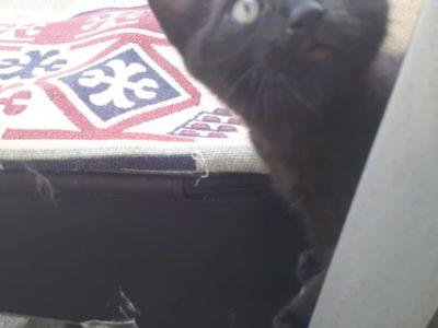 bombay yavru kediyim