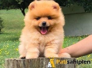 Satılık Pomeranian Boo Orjinal Yavrularımız