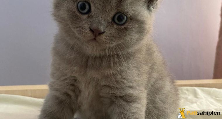 :)-SCOTTISH FOLD – BRITISH SHORTHAIR MİNİKLER-