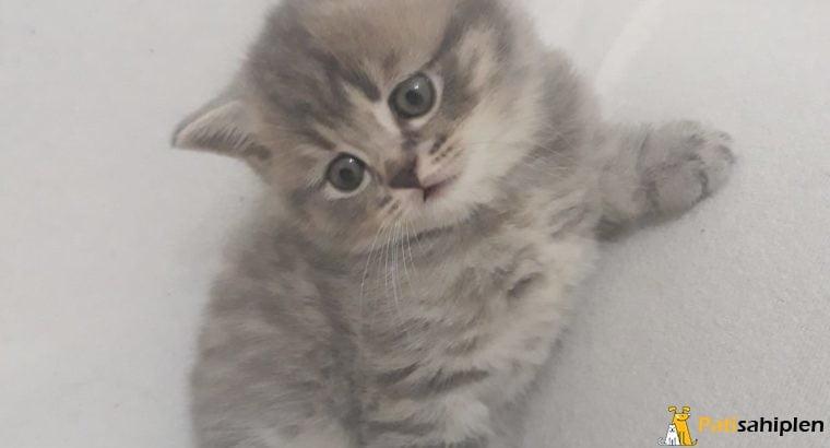 5 aylik safkan yavru kediler (disi ve erkek)