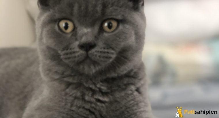 British shorthair erkek 3 aylık