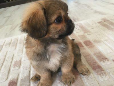 2 aylık yavru köpek