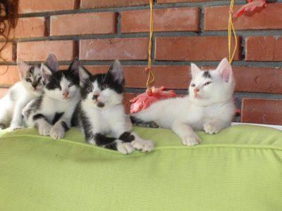 Felix Kedi yavruları 1 kız 3 erkek