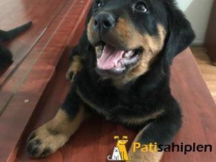 Safkan Orjinal Rottweiler Yavruları