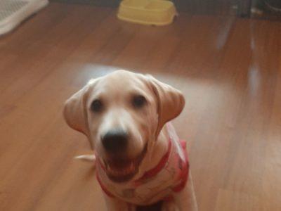 Labrador safkan 4 aylık