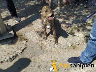 4 aylık pitbull