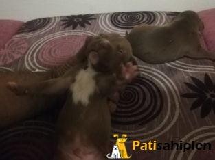 Safkan pitbull rednose