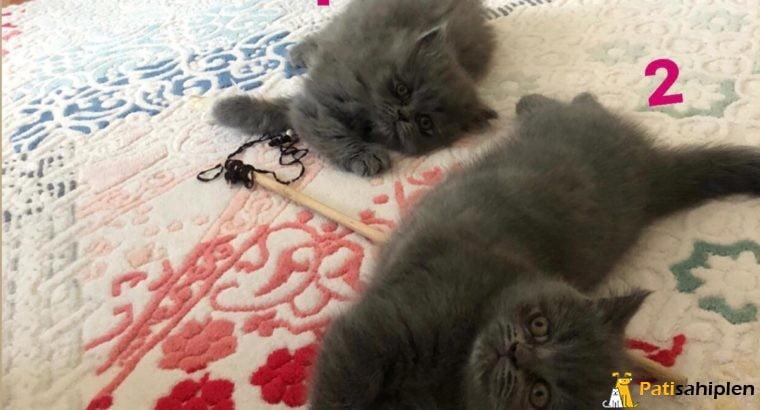 2 Aylık British shorthair ve Longhair
