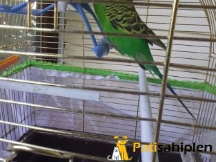 Muhabbet Kuşu (Kafesiyle)