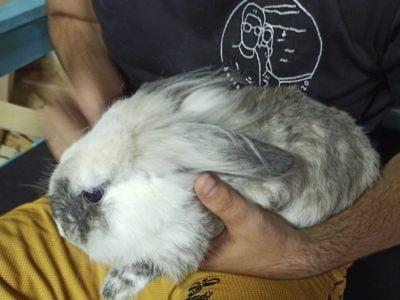 """""""Deniz"""" hollanda lop tavşanı"""