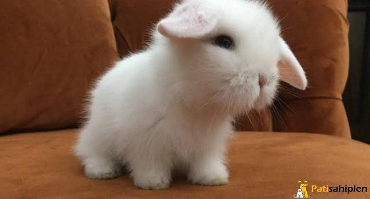 Hollanda lop tavşanı