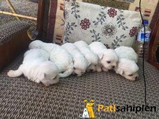 Adanadan safkan maltese terrier yavrular