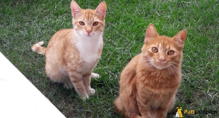 Birlikte veya Ayrı Olarak Sahiplendirilecek 3 Kedi