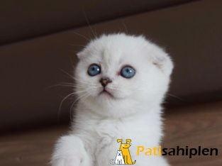 Mavi Gözlü Scottish Fold Yavrular